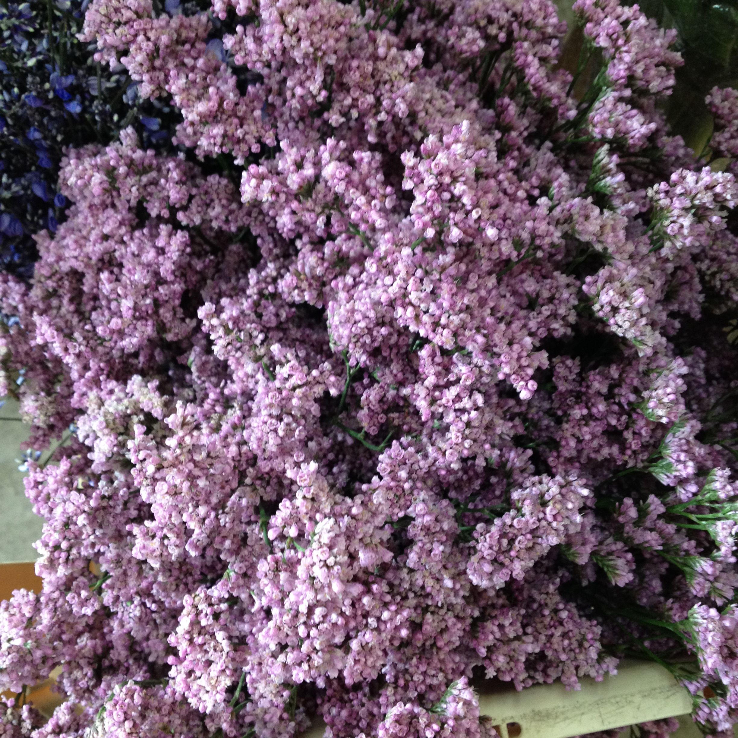 Limonium called 'Mr Silver Pink' Sold in bunches of 10