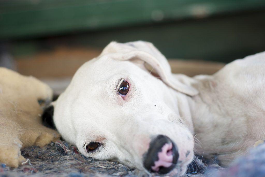 Enfermedad De Lyme En Perros Síntomas Y Tratamiento Descúbrelo Todo Garrapatas Perros Perros Enfermedad De Lyme