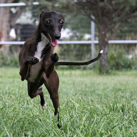 About Time Italian Greyhounds Vivani Seal Italian Greyhound