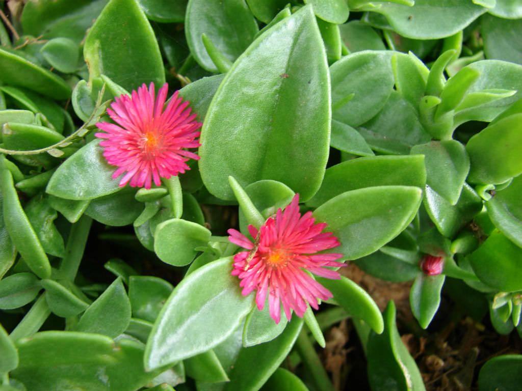 Aptenia Cordifolia Baby Sun Rose Jardin De Plantes Grasses