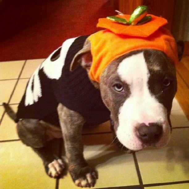 Rover Com Halloween Costume Contest Pitbull Pet Sitters Dog