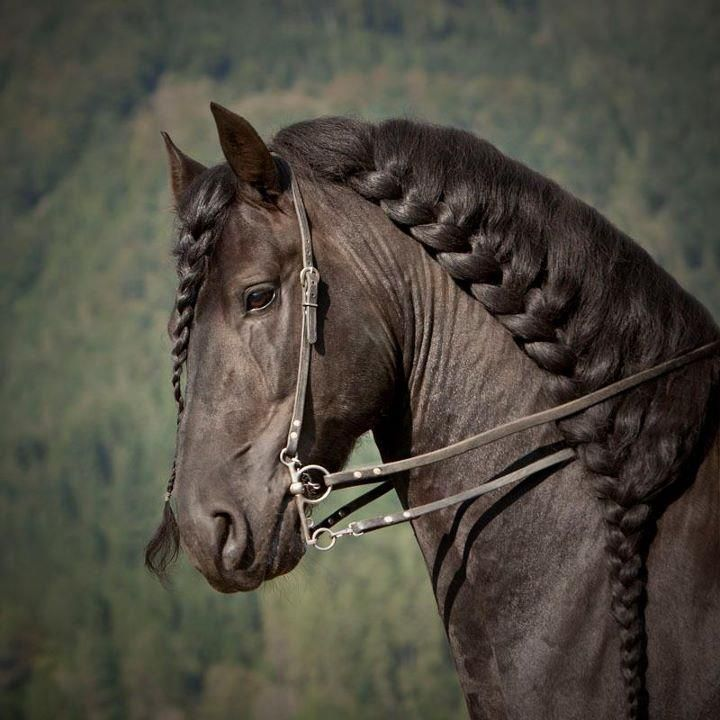 majestic black Friesian horse dressage show performace ...