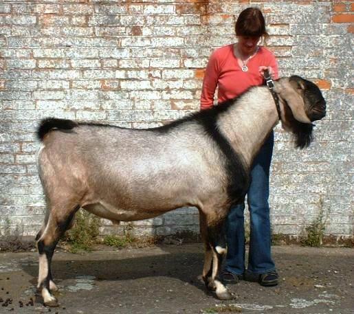 une norme ch vre nubienne pas tr s jolie je vous l 39 accorde goat friends pinterest. Black Bedroom Furniture Sets. Home Design Ideas