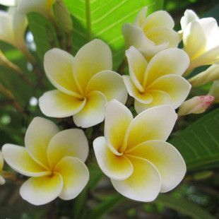 5 seeds/pack garden supplies Poached egg flower seeds Plumeria rubra 'Acutifolia' seed
