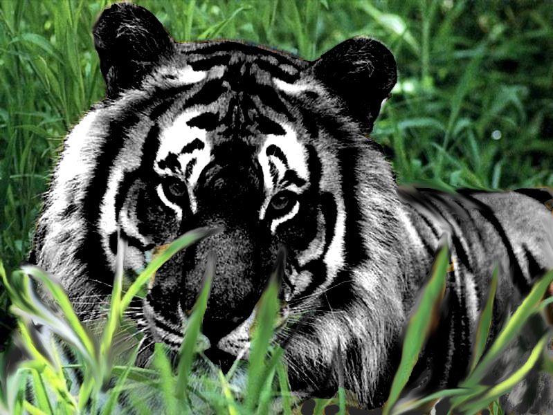 Lishay Animals Beautiful Melanistic Animals Animals
