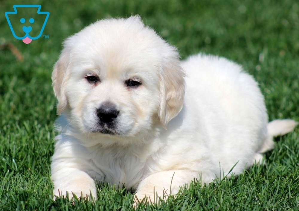 Macho Puppies Puppies For Sale Cute Baby Puppies