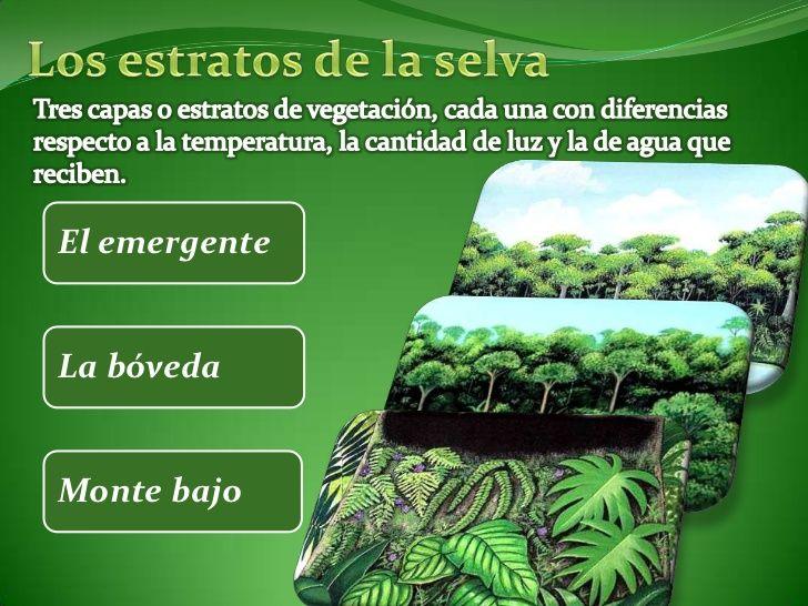 En El Bioma De La Selva Umbrófila Podemos Distinguir Tres Estratos El Emergente La Bóveda De La Selva Y El Monte Bajo O Soto Bioma De La Selva Biomas Selva