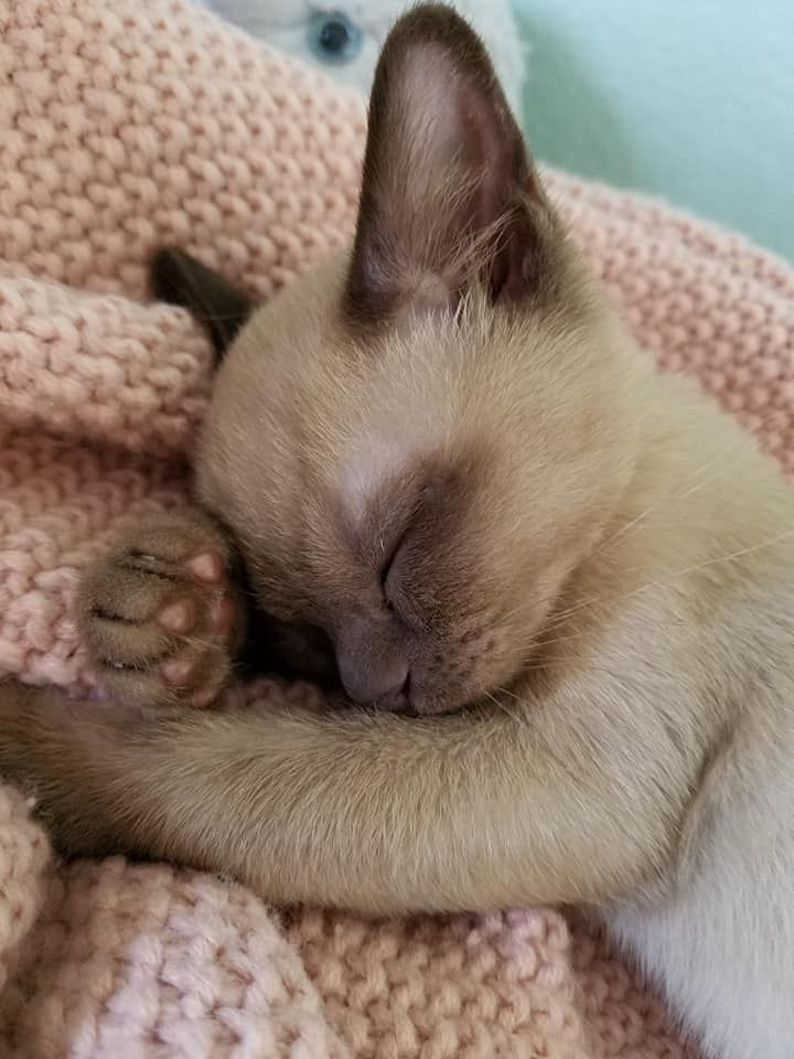 This Is My Champagne Burmese Kitten Dobby Mcwiggles He S An Angel Baby When He S Napping 13 Weeks Old In This Pi Burmese Kittens Cute Animals Cat Sleeping