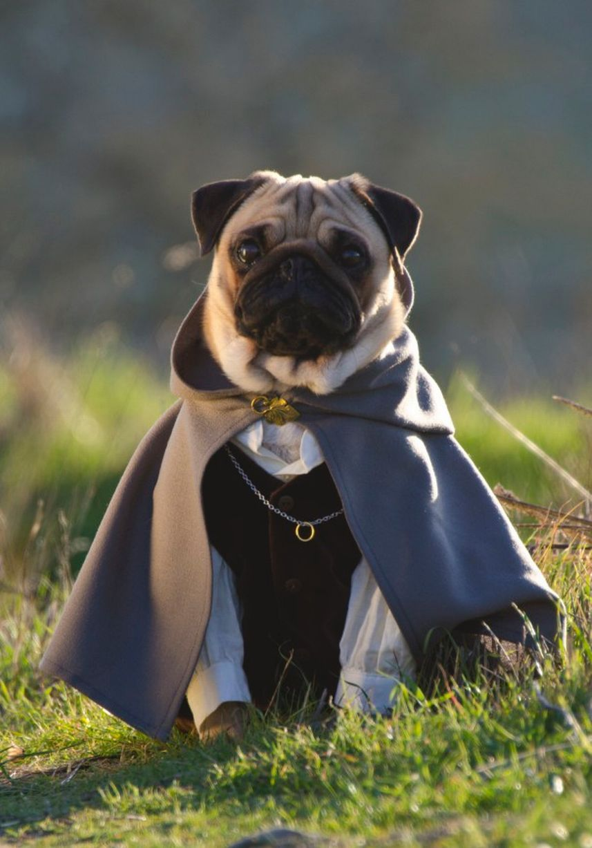In Pictures Meet Three Pugs Who Love Fancy Dress Pugs In
