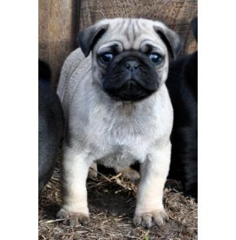 Pugs Are Just The Cutest Dogs This Pic From Jakeeva Pugs Pug