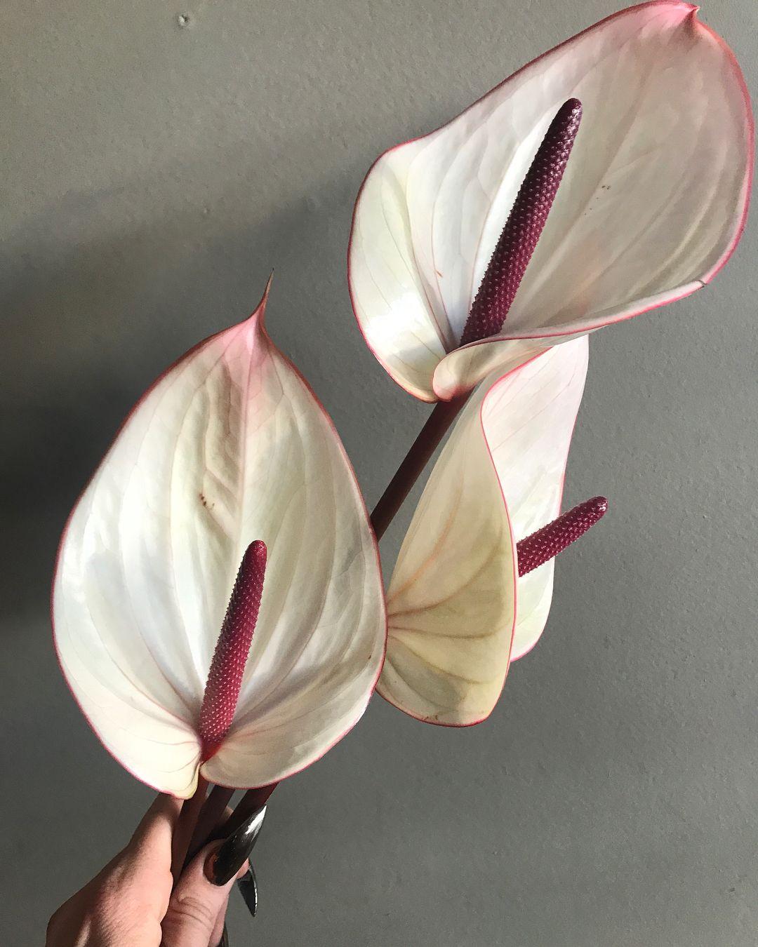 Anthurium White Heart Ppaf Anthurium Plant Anthurium Rare Flowers