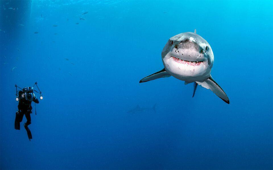 Rencontre plongeur requin blanc