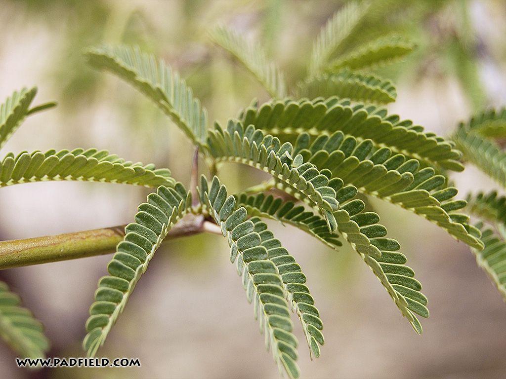 Acacia Tree Leaves Plant Leaves Acacia Tree Nature Tree