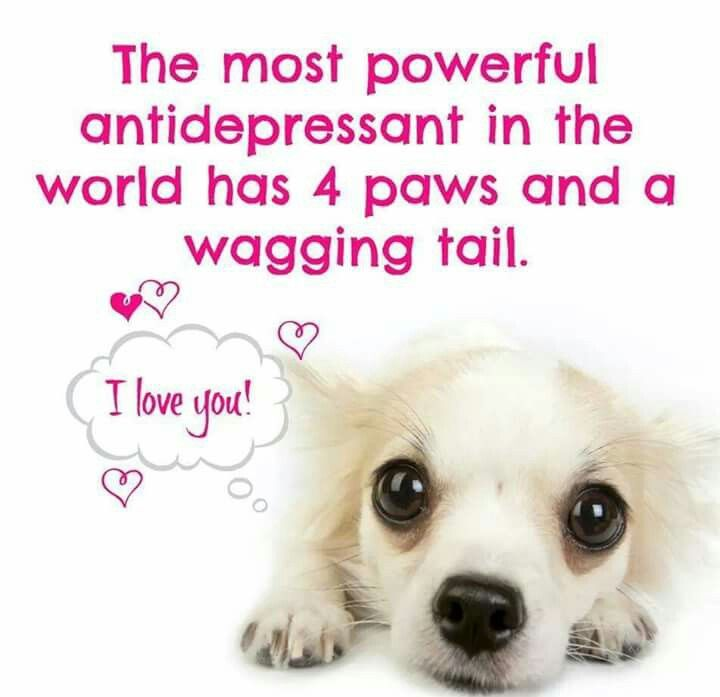 Best Antidrpressant Is 4 Paws And Wagging Tail Mine Sadie Moe And Chico Chihuahua Quotes I Love Dogs Dog Quotes