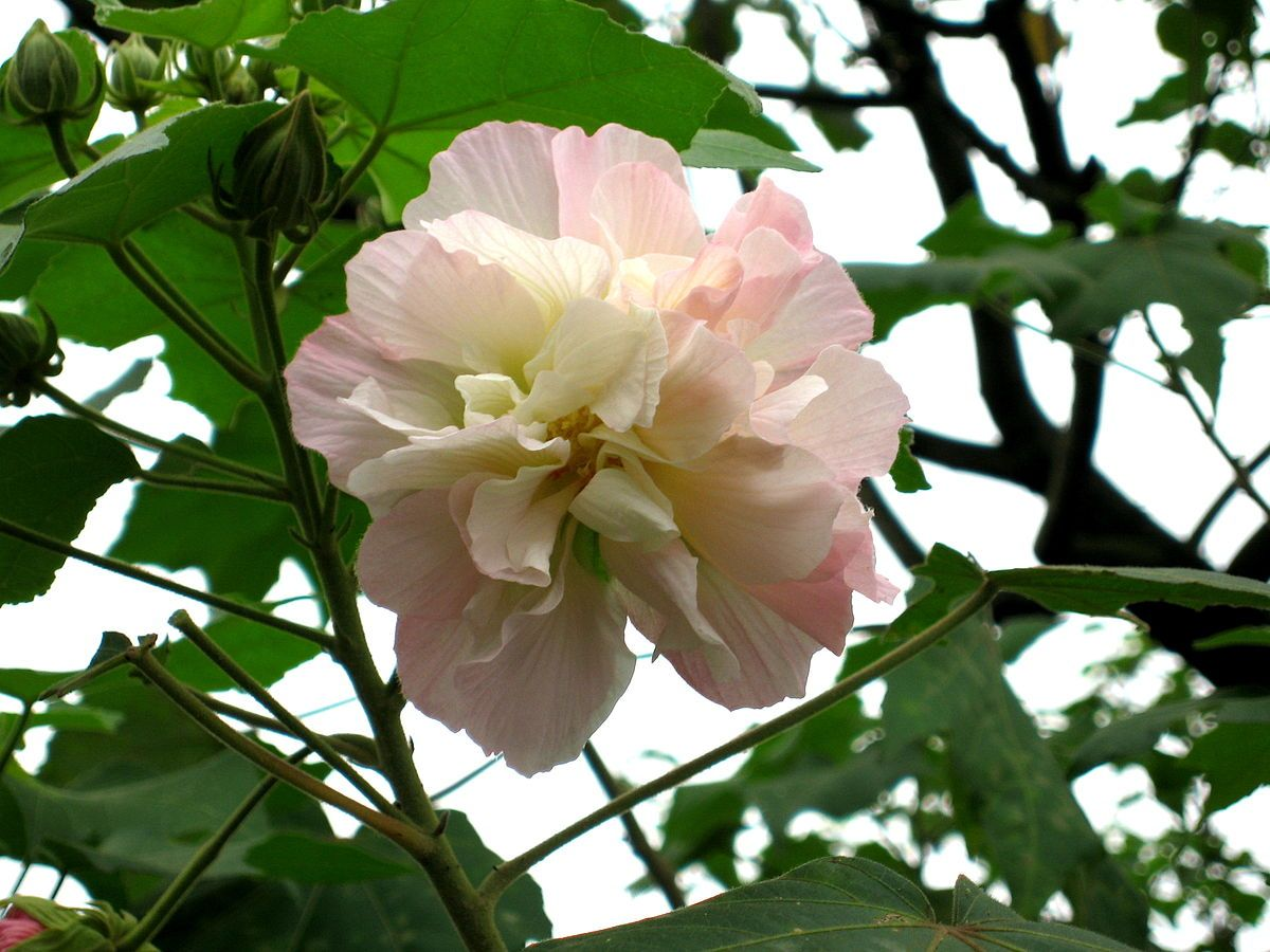 Hibiscus Mutabilis Wikipedia Rose Like Flowers Flowers Hibiscus