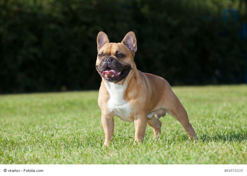 Bildergebnis Fur Franzosische Dogge Franzosische Bulldogge