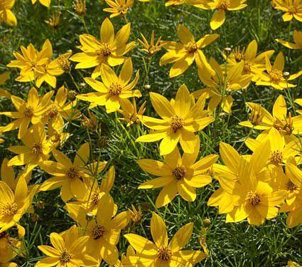 Coreopsis Verticillata Zagreb Best Perennials Perennials Landscaping Around House