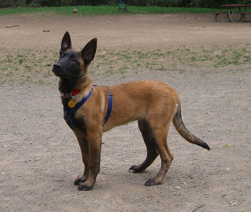 Guess The Genotype 64 Malinois Dog Belgian Malinois Belgian