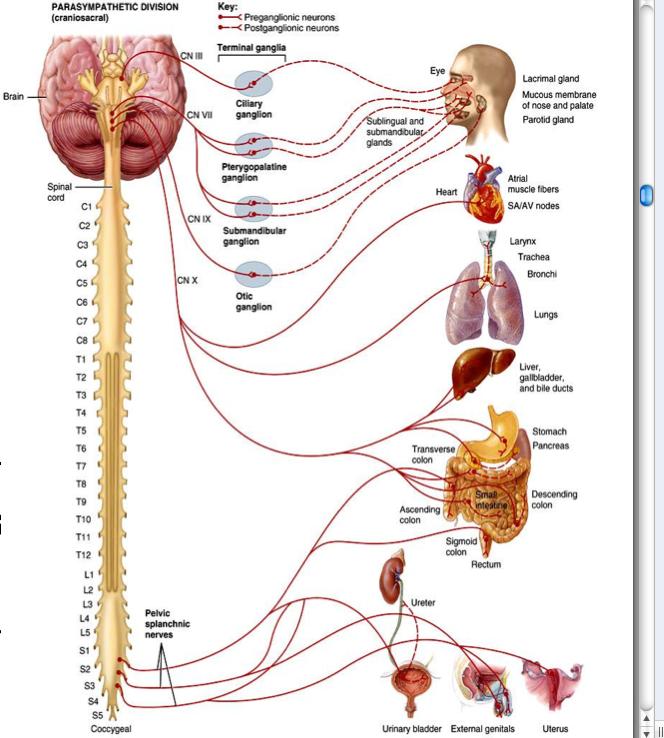 Ganglia Nervous System   ... Nervous System - Somatic nervous system ...