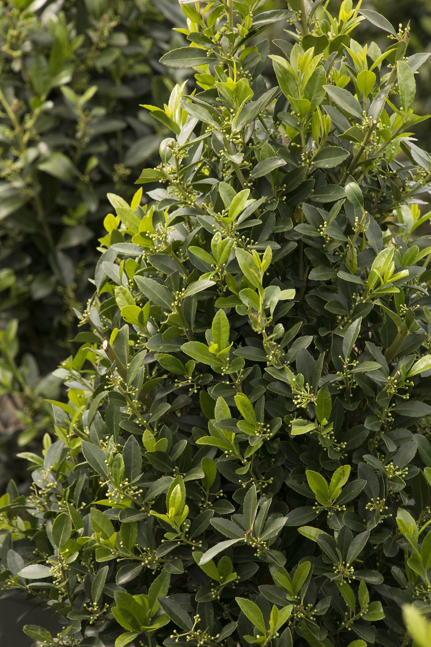 Emerald Colonnade® Holly is a handsome new male evergreen holly ...