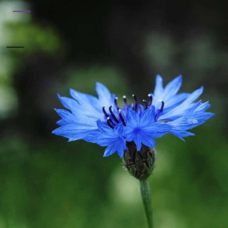 Cornflower Blue By Dsfotods On Deviantart Blueflowerwallpaper In 2020 Bloemen Schilderen Bloemen Foto S