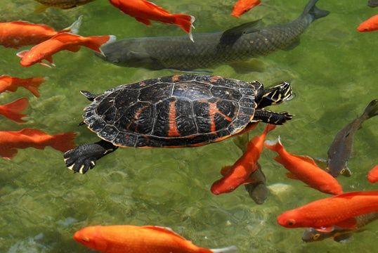 Turtle And Koi Google Search Koi Fish Pond Turtle Pond Pet