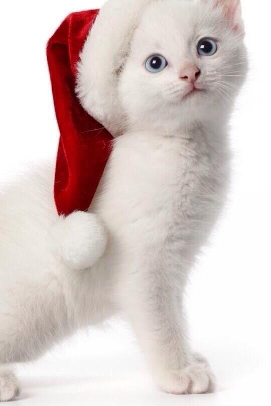 Santa Kitty Christmas Cats Christmas Animals Wallpaper Iphone Christmas