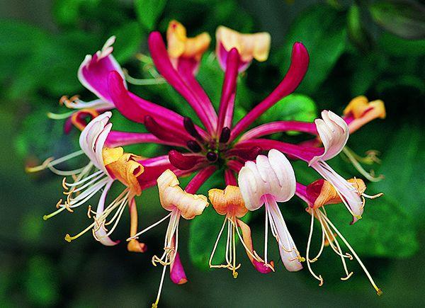 Lonicera Periclymenum Serotina Late Dutch Honeysuckle Honeysuckle Flower Wonderful Flowers Plants