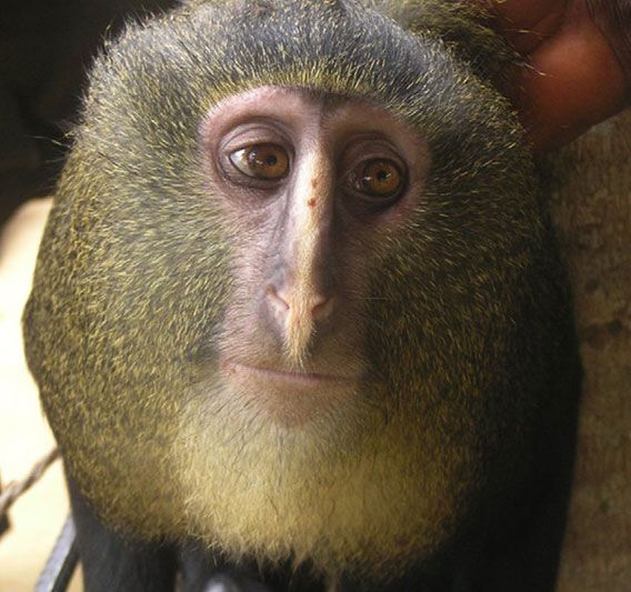 Close up of newly identified primate species: lesula (Cercopithecus lomamiensis), found in the rainforest of the Democratic Republic of the Congo (DRC)