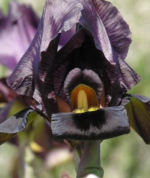 Легендарный цветок Ирис (Iris)