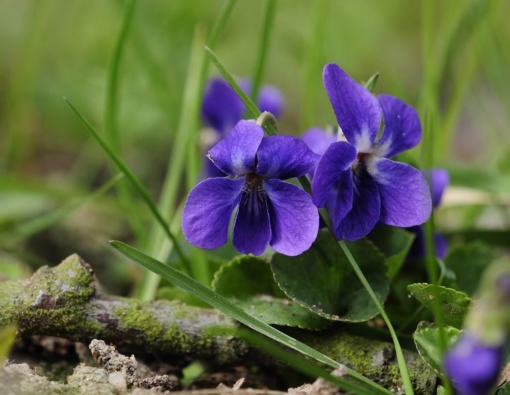Veilchen Blumen Fotos Pinterest Veilchen, Wiesenblumen und Wald