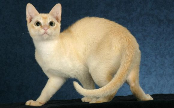 Cream Colored Tonkinese Cat Breed Love This One Tonkinese Cat Cat Breeds Cute Cats