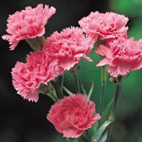 Carnations Flowers Medicinal Uses Of Carnations Carnation Flower Carnations Different Types Of Flowers