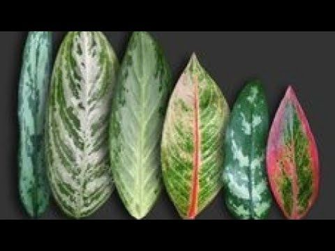 Aglaonema types and varieties - YouTube in 2020 | Faux ...