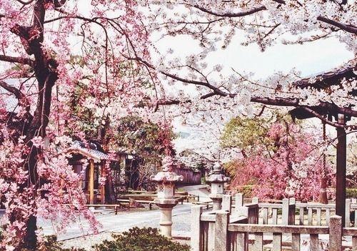 Japanese Cherry Blossom Trees So Pretty Scenery Cherry Blossom Japan Cherry Blossom