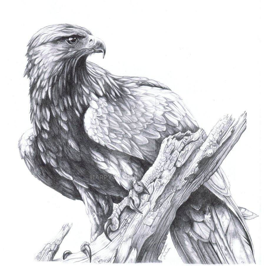 Golden Eagle Aquila chrysaetos by harpyja.deviantart.com on ...