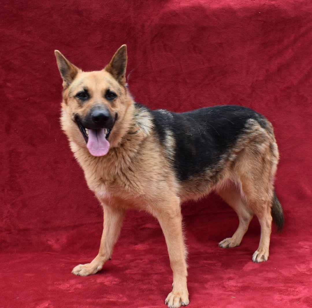 Adopt Stella On German Shepherd Dogs Dogs Shepherd Dog