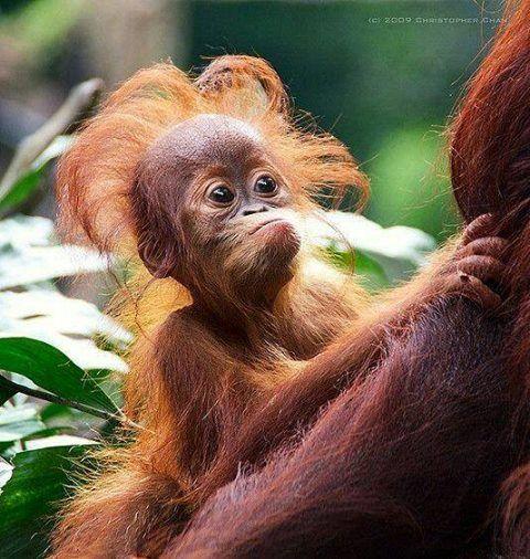 Gut gemocht Apparemment ce bébé orang-outan vient de se réveiller. | bébé  HW23