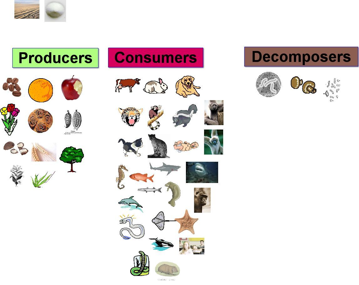 Producers, Consumers and Decomposers in pictures | The ...