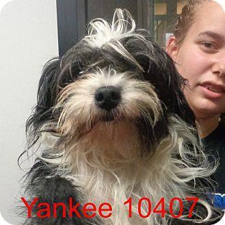 Baltimore Md Shih Tzu Poodle Miniature Mix Meet Yankee A Dog