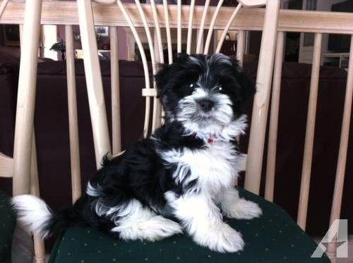 Gorgeous Male Black And White Irish Pied Havanese Champion Sired Havanese Best Dog Breeds Black And White