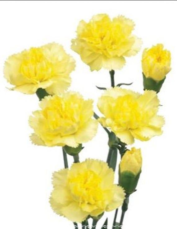 20 Seeds Small Yellow Indian Carnation Flower Seeds Natural Heirloom In 2020 Yellow Carnations Carnation Flower Garden Flower Beds