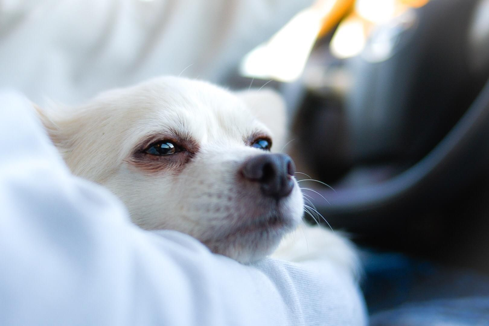 Sleepy pup resting on the road trip iftyiabb cute