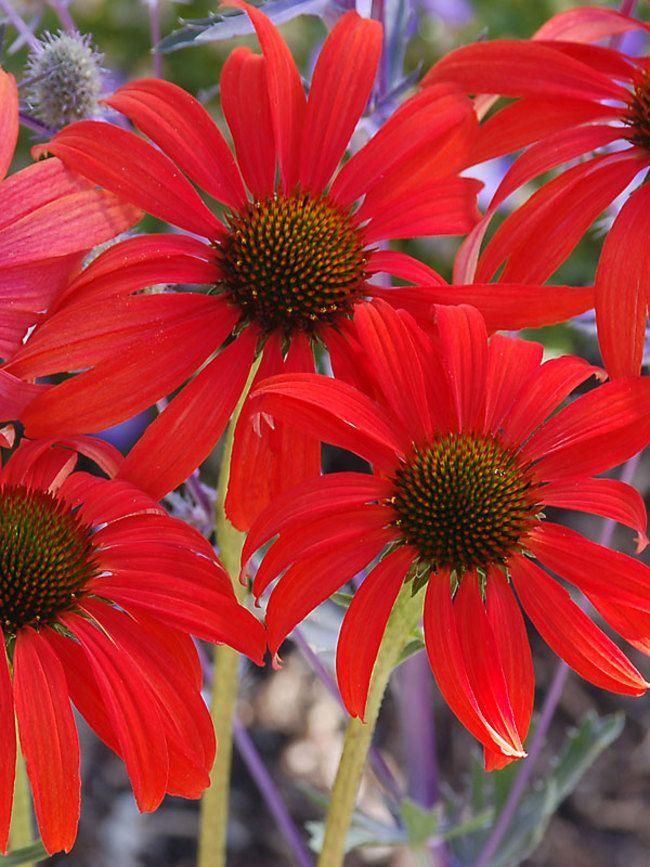 Echinacea Tomato Soup Bluestone Perennials Flowers Perennials Planting Flowers Flower Seeds