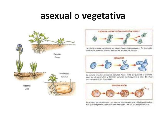 Reproduccion vegetativa o asexual