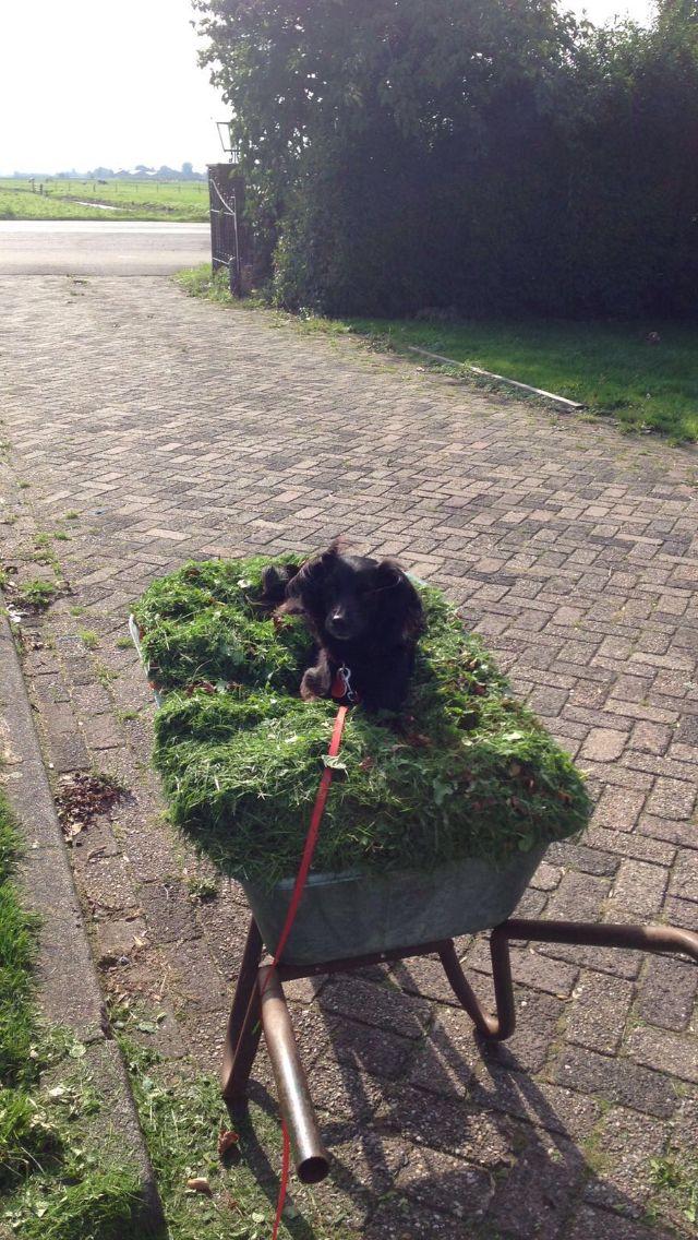 Schattig Markiesje in een kruiwagen met gras