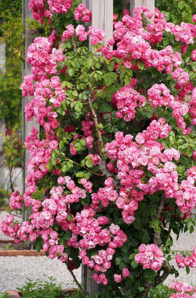rose angela cottage gardens pinterest rosen blumen und garten. Black Bedroom Furniture Sets. Home Design Ideas