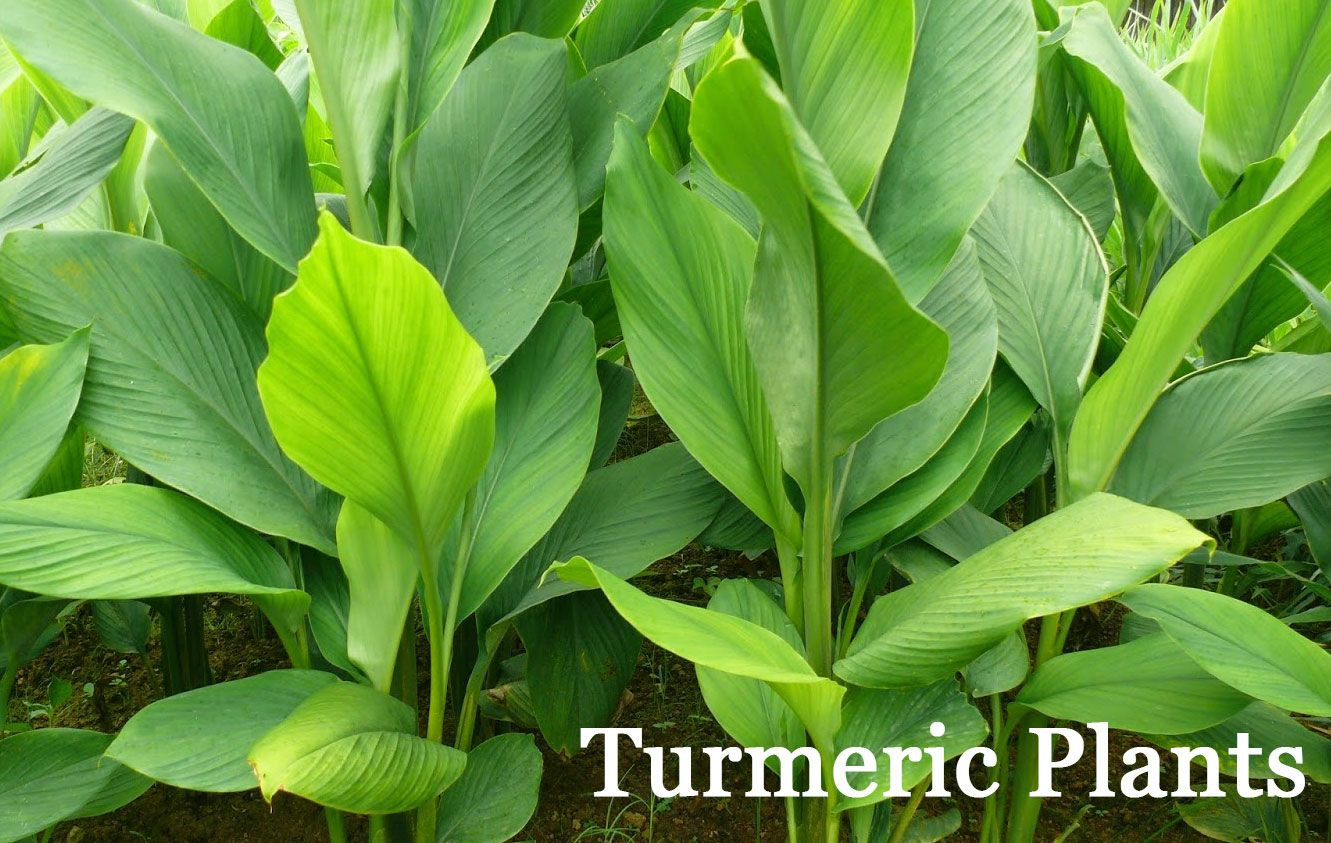 The Ultimate Guide To Growing Turmeric & Ginger! | Favorite