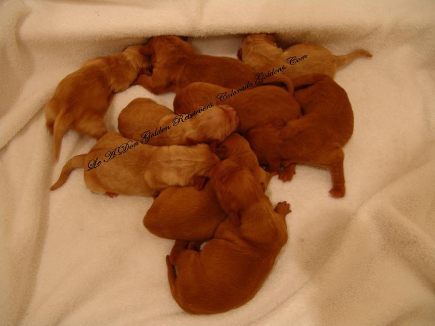 Golden retriever puppy for sale scotland