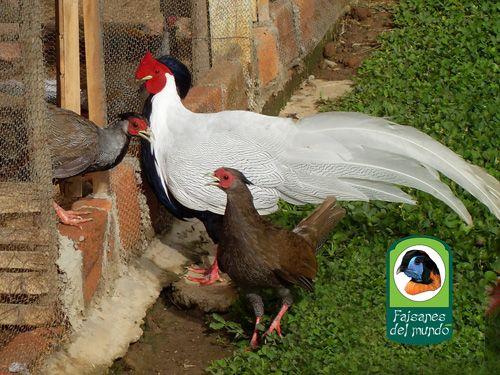 Faisanes Del Mundo Faisan Plateado Lophura Nycthemera Aves De Corral Faisan Gallinas De Pelea